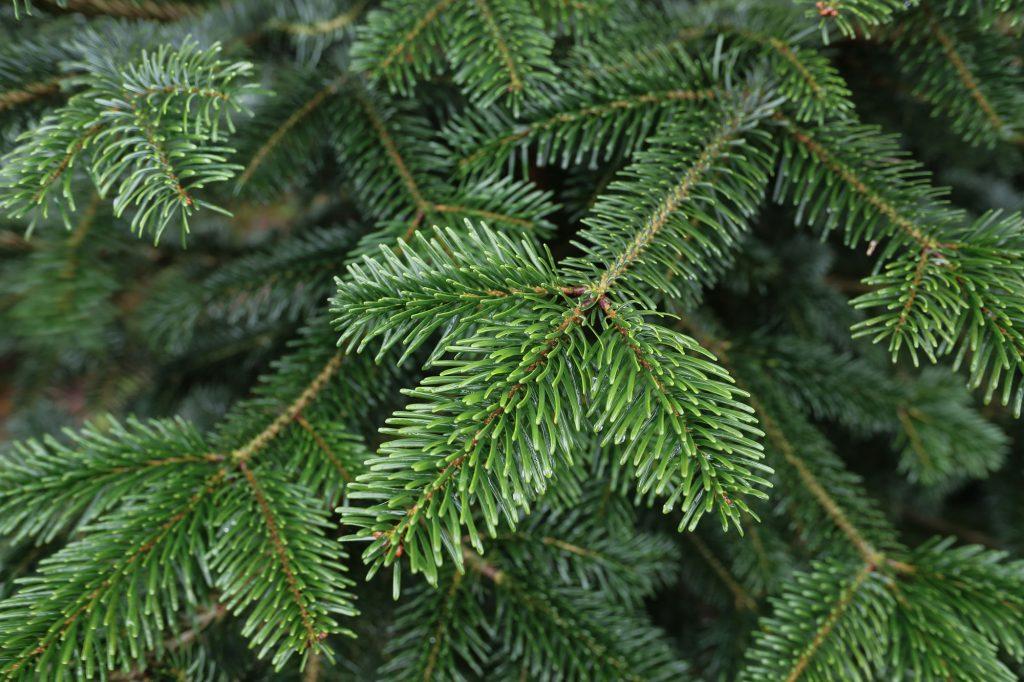 Auf der Plantage Wedemark / Negenborn bei Hannover werden nicht nur Bäume verkauft, sondern auch selbst geschlagen. Auch Weihnachtsfeiern sind möglich.
